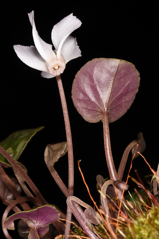 Cyclamen intamineum