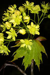 Title: Acer platanoides