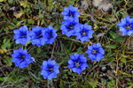 Title: Gentiana at 4500 m