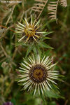 Title: Carlina vulgaris