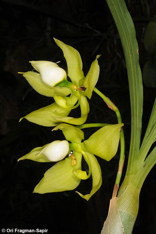 Cycnoches lutescens