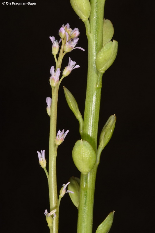 Lepidium spinescens