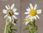 Title: Anthemis hyalina