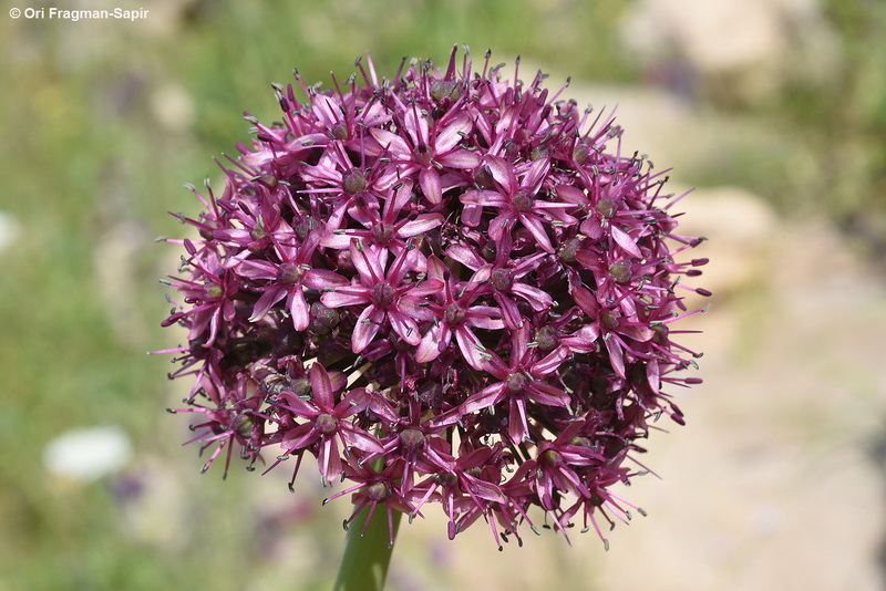 Allium aschersonianum