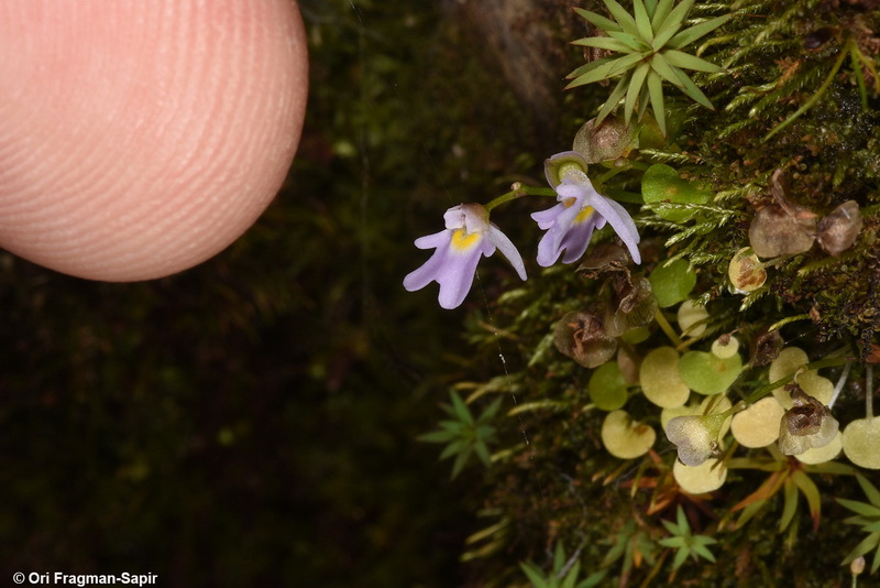 Utricularia species