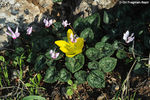Title: Cyclamen and Sternbergia