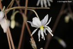 Title: Arthropodium candidum