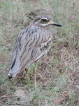 Title: Indian stone-curlew