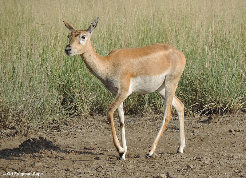 female black buck
