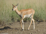 Title: female black buck