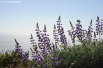 Title: Lupinus albifrons