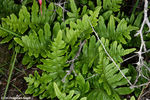 Title: Polypodium californicum