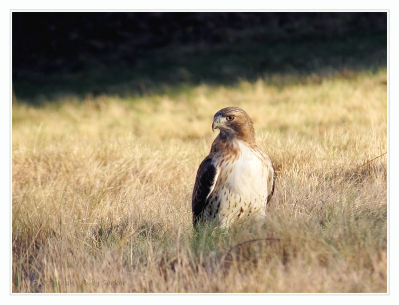 Red-tailed Hawk in the field..