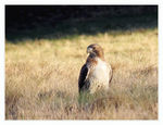 Title: Red-tailed Hawk in the field..