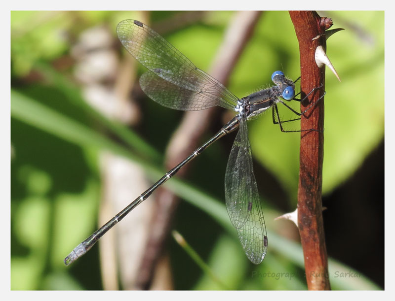 Spotted Spreadwing?