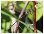 Title: Spotted Spreadwing?