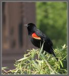 Title: Red-winged Blackbird (male)Canon PowerShot SX 40 HS
