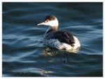 Title: Horned Grebe (non-breeding plumage)