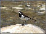 Title: White-browed Wagtail
