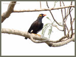 Title: Greater Indian Hill Mynah