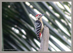 Title: Fulvous-breasted Woodpecker (male)