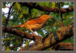 Title: Brown Thrasher