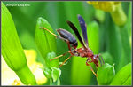 Title: Metricus Paper Wasp (female)