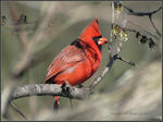 Title: Northern Cardinal (male) - IICanon PowerShot SX 40 HS