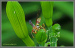 Title: Common Paper Wasp (female)