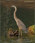Title: Great Blue Heron ?