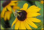 Title: Green-eyed Bee