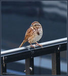Title: Song Sparrow ?
