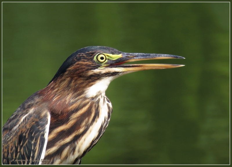 Green Heron (immature) - I