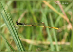 Title: Citrine Forktail (male)