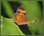 Title: Pearl Crescent Butterfly