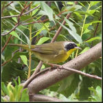 Title: Common Yellowthroat (male)