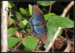 Title: Red-spotted Purple Butterfly