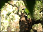 Title: Blue-throated BarbetCanon PowerShot SX 40 HS