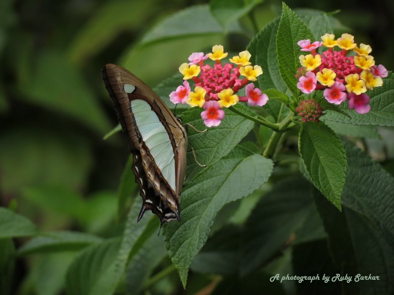 Indian Yellow Nawab Butterfly