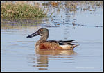 Title: Northern Shoveler (transitional plumage)