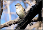 Title: Yellow-rumped Warbler (female)