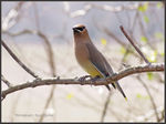 Title: my first Cedar Waxwing for Ron