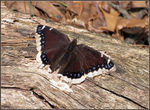 Title: Mourning Cloak Butterfly
