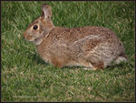 Title: New England Cottontail