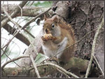 Title: American Red SquirrelCanon PowerShot SX 40 HS