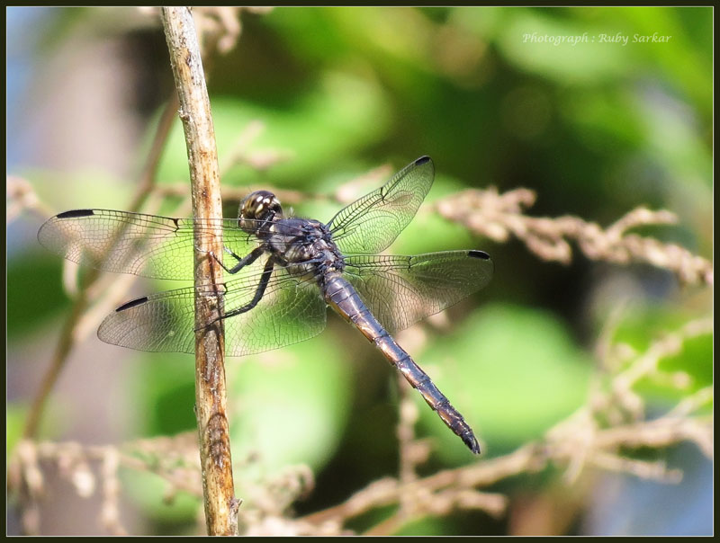 Slaty Skimmer (immature male)