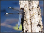 Title: Spangled Skimmer (male)