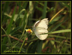 Title: Lesser Gull Butterfly (dry season form)