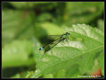 Title: Common Blue-tailed Damselfly (male)Canon PowerShot SX 40 HS