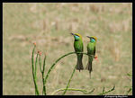 Title: Green Bee-eaters (couple)